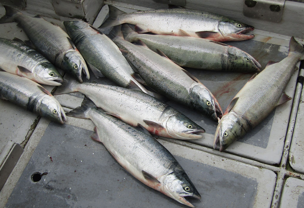 Alaska wild salmon advocates score a victory in federal court